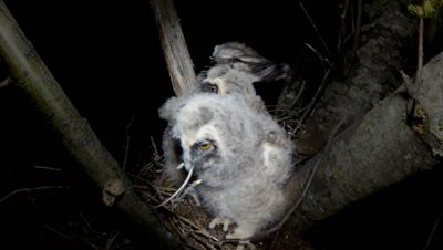 Long Eared Owl, a chick swallows a mouse
