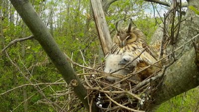 Long Eared Owl, female parent in the nest protecting her chicks from the wind, daylight time