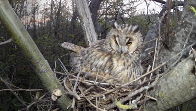 Long Eared Owl, adult female nesting, sunset time