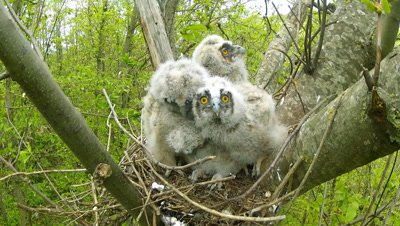 Long Eared Owl, four chicks in the nest, different age 15 to 18 days old