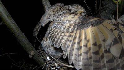 Long Eared Owl, female parent with a vole as prey, one of the chicks tries to swallow it in the WRONG WAY from the back