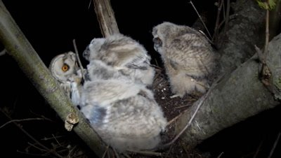 Long Eared Owl, male parent lands with a wild mouse as prey for the chicks in the nest