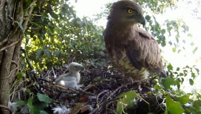 Short toed eagle,STEREOSCOPIC 3D,the female parent protects the 7 days old chick in the nest