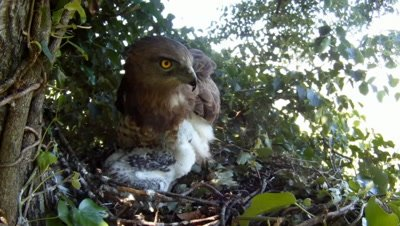 Short toed eagle,STEREOSCOPIC 3D,the female parent covers the 20 days old chick