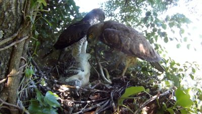 Short toed eagle,STEREOSCOPIC 3D,the male parent carrying a snake, female parent feeding the 20 days old chick