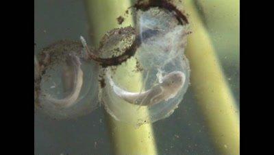 Spectacled salamander eggs, tadpoles inside moving