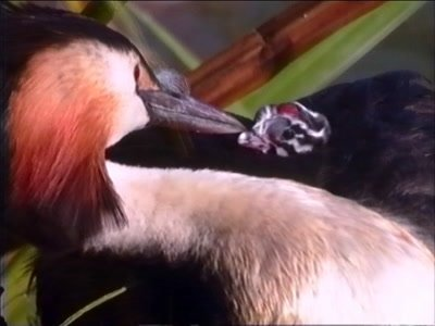 Great crested grebe on its floating nest, parent feeds a chick on its back with a FEATHER