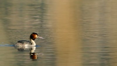 Great crested grebe plunging behind cane thicket, slow motion 50%