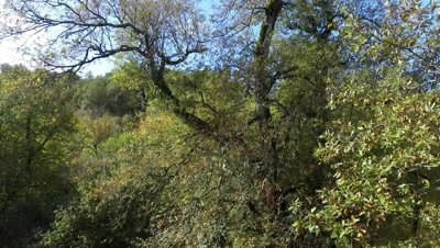 Deciduous forest in autumn, aerial footage from drone, tilt revealing view of the forest
