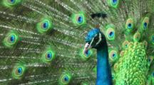 Beautifull Peacock Closeup