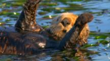 Close Up Cute, Fuzzy Sea Otter Rolls Over In Kelp Bed