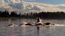 Humpback Whales Feed Cooperatively On Surface
