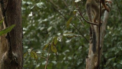 Squirrel Monkey With Baby on Back, in Amazon Rainforest