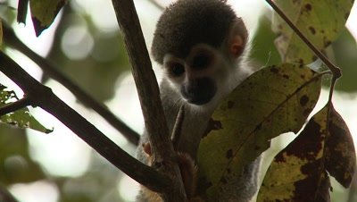 Squirrel Monkey in Amazon Rainforest, Scratching And Climbing
