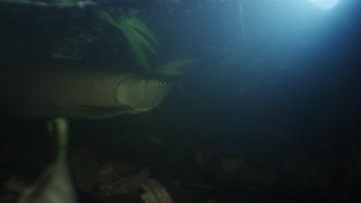 Amazon River Underwater,Fish,Possibly Arowana Swims By