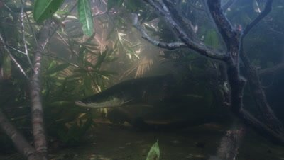 Amazon river Underwater,slowly Swimming Large fish,Possibly Arapaima