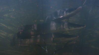 Amazon river Underwater,slowly Swimming Large fish,Possibly Arapaima