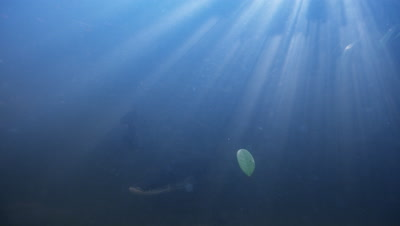 Amazon River Underwater With Sun Rays,Slowly Swimming Large fish,Possibly Arapaima