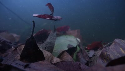 Amazon river Underwater,Leaves Fall,Gather on Bottom