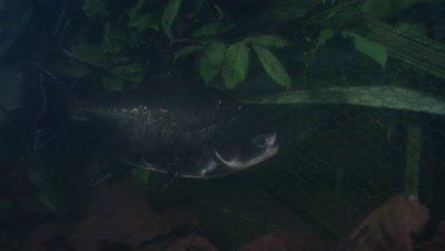 Amazon River Underwater,Fish Near Wire Structure Possibly Fish Trap
