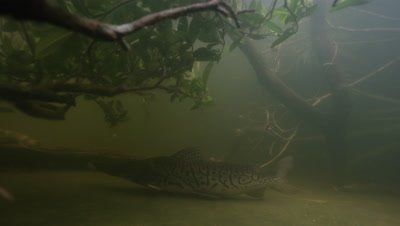 Amazon River Underwater,Fish Swims over Bottom,Possibly Long-whiskered Catfish
