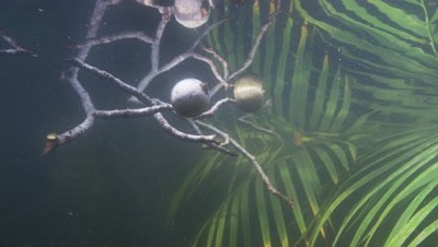 Amazon river Underwater,Plants with Fruit-like Structures