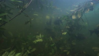 Amazon River Underwater,School of fish swims around plants