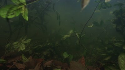 Amazon River Underwater,Murky Water and Aquatic Plants