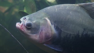 Amazon River Underwater,fish,Possibly Piranha,Swims Around Palm-like Plants