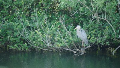 Great Blue Heron preens while resting on branches just over the water's surface