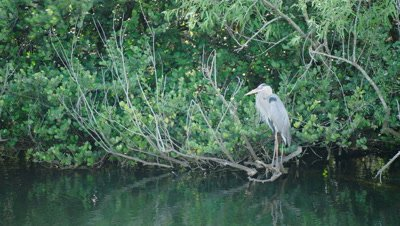 Great Blue Heron rests on some branches just over the water's surfae