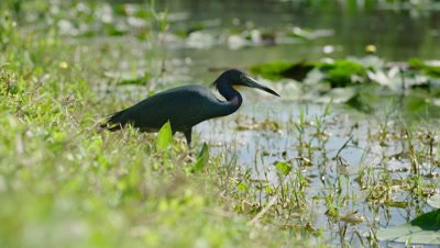 Little Blue Heron hunting along the shore of the Everglades