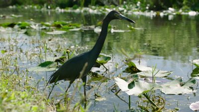 Little Blue Heron hunting in the Everglades takes flight