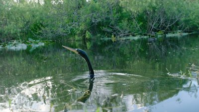 American Darter hunting in the Everglades as another bird, possibly a Common Gallinule, swims in the background