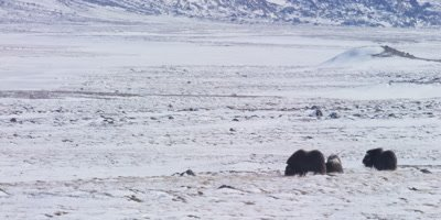 Small herd of Muskox in the frozen Greenland tundra