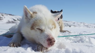 Dog Sledding In the Arctic tundra; Dog team resting in the snow