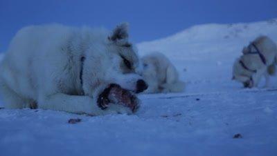 Dog sled team feeding on chunks of meat