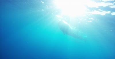 Whale Shark feeding at ocean surface, silhouetted by the sun