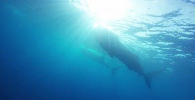 Whale Sharks feeding at the ocean surface