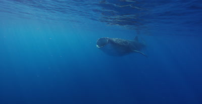 Whale Shark swims past camera towards snorkelers while feeding at the ocean surface