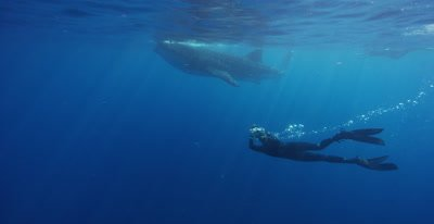 Snorkeler shoots video of a Whale Shark feeding at the ocean surface