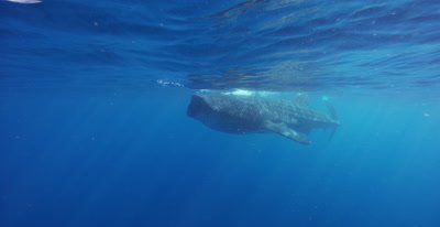 Whale Shark feeding at the ocean surface