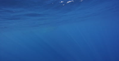 Whale Shark feeding at the ocean surface in the distance