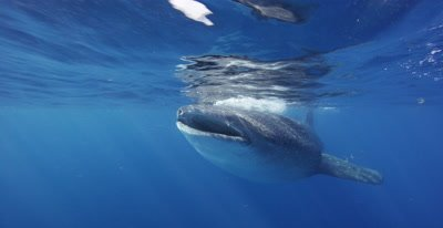 Whale Shark swims close to camera while feeding at the ocean surface