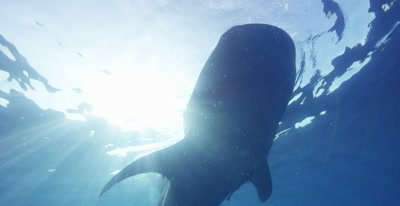 Whale Shark feeding at the ocean surface silhouetted by the sun