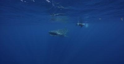 Snorkeler swims alongside Whale Shark feeding at the ocean surface