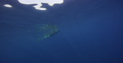 Snorkelers filming a Whale Shark feeding at the ocean surface