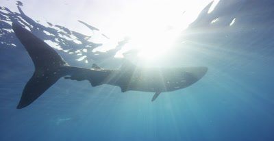Whale Shark feeding at the ocean surface, silhouetted by the sunlight