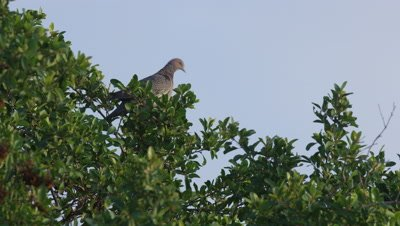 Bird Perches in Tree,Possibly a Dove