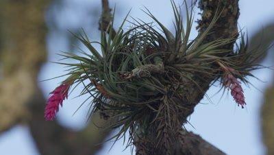 Epiphytic plant on tree in Brazil Rainforest